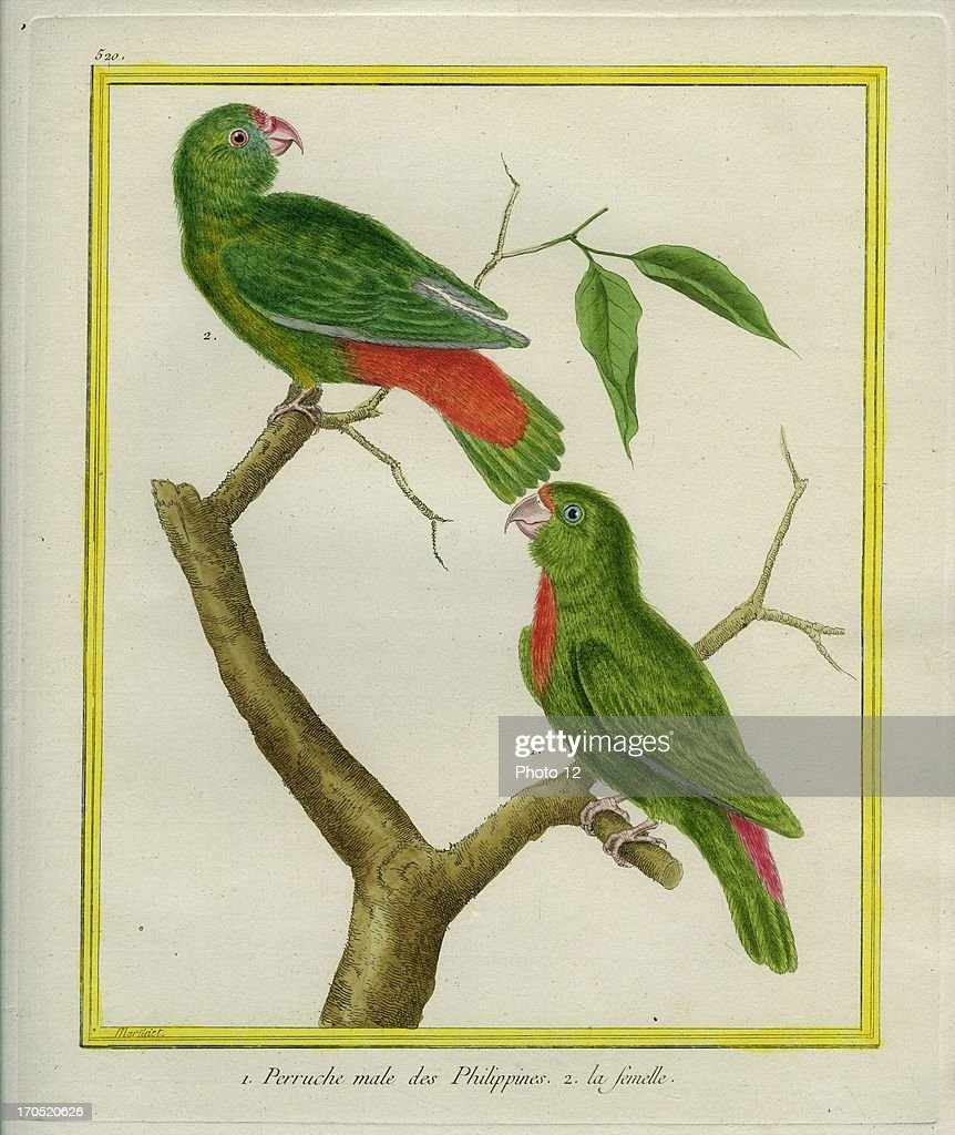 Male and Female Philippine Hanging Parrots, Loriculus philippensis 1