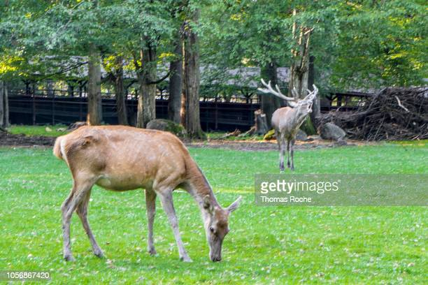 male and female red deer (cervus elaphus) - bialowieza forest stock pictures, royalty-free photos & images