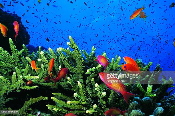 Male and Female Scalefin Anthias, (Pseudanthias Squamipinnis) Swimming on Coral
