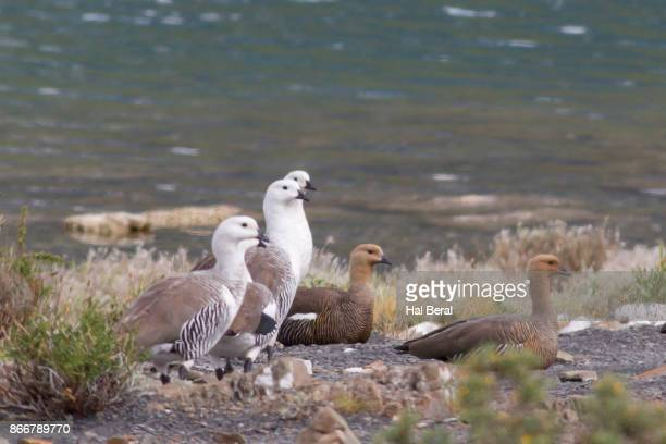 Male and female Upland Geese