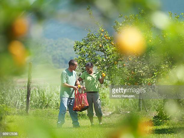 male and female workers picking oranges - orange grove stock photos and pictures