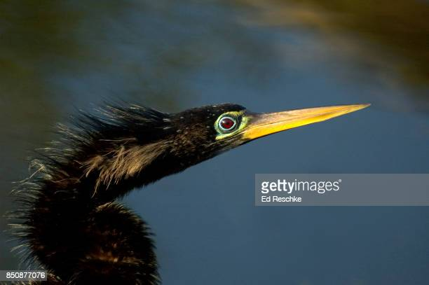 male anhinga (anhinga anhinga) during breeding season, showing dagger-like bill - ed reschke photography stock photos and pictures