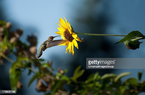 Male Annas hummingbird and sunflower.