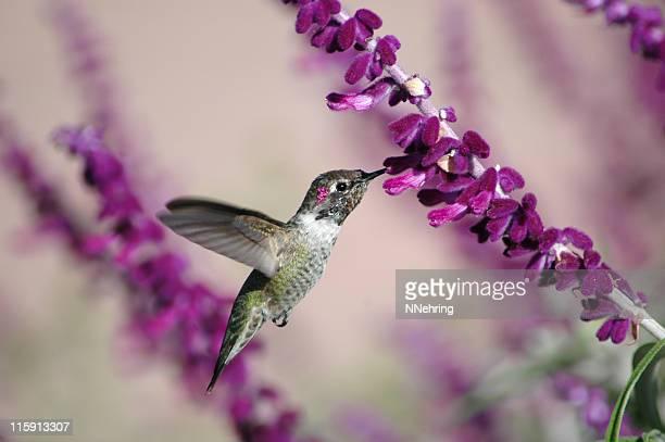 Macho colibrí de anna, Calypte anna