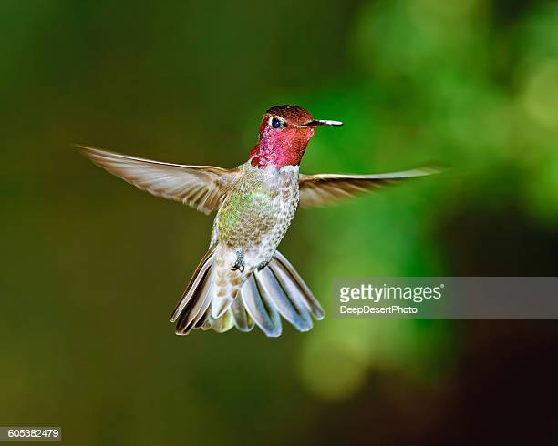 a male anna's hummingbird hovering mid air, arizona, america, usa - anna's hummingbird stock pictures, royalty-free photos & images