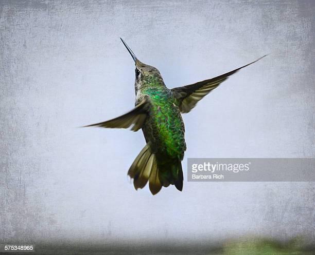 Male Anna's Hummingbird in defense mode
