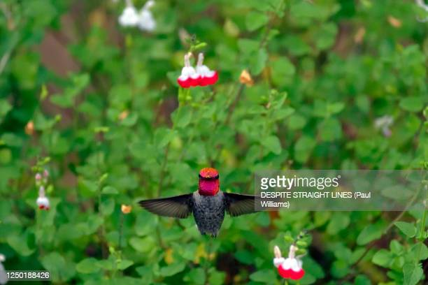 male anna's hummingbird (calypte anna) - anna's hummingbird stock pictures, royalty-free photos & images