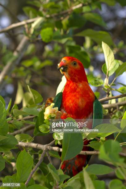 30 Top King Parrot Pictures, Photos and Images - Getty Images