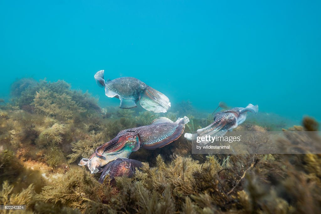 Male Australian giant cuttlefish fighting off other male suitors as his female tries to lay her eggs, Whyalla, South Australia. : Stock Photo