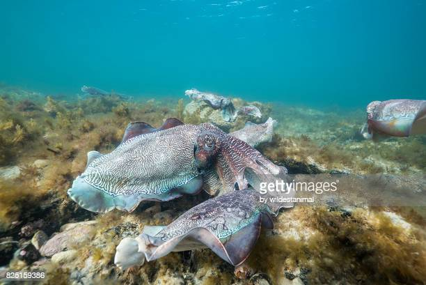 Male Australian giant cuttlefish fights off another male as he protects his female while she tries to lay her eggs in a crevice, Whyalla, South Australia.