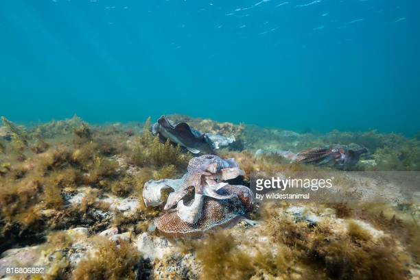 Male Australian giant cuttlefish fights other males off as he tries to protect his female as she tries to lay her eggs, Whyalla, South Australia.