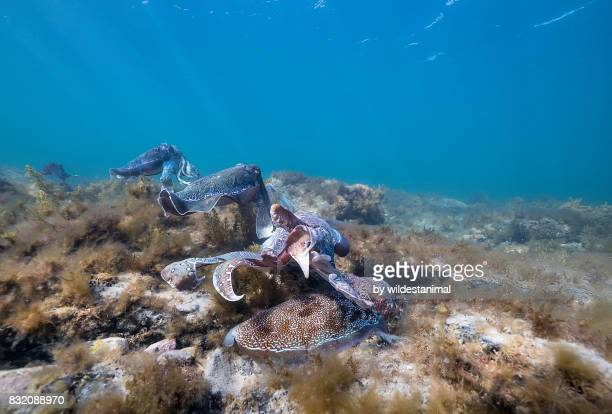 Male Australian giant cuttlefish guards his female from other males wanting to mate with her while she tries to lay her eggs in a crevice, Whyalla, South Australia.