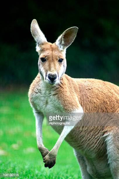 male australian red kangaroo - male animal stock pictures, royalty-free photos & images