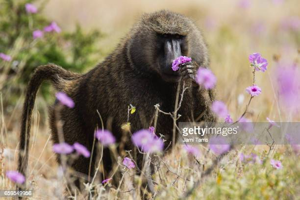 A male baboon eating the new morning glory blooms