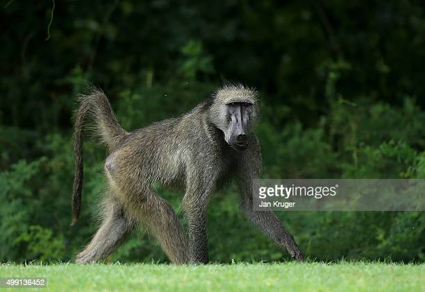 A male baboon looks on during the final round of the Alfred Dunhill Championship at Leopard Creek Country Golf Club on November 29 2015 in Malelane...