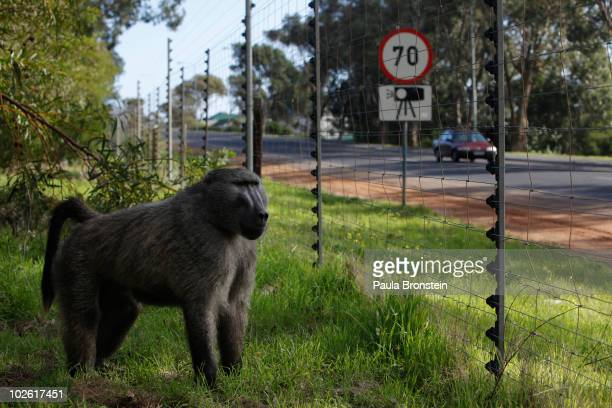 A male baboon stands behind an electric fence as he watches for a chance to break into a bakery across the street July 2 2010 in Capetown South...