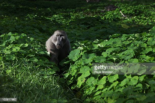 A male baboon walks through a green pasture looking for his troop July 2 2010 in Capetown South Africa Urbanization is believed to be the main reason...