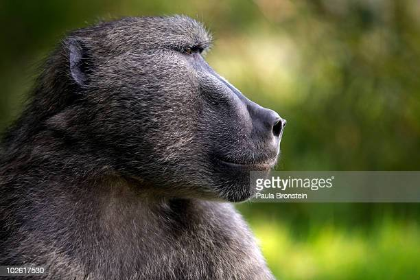 A male baboon watches his troop July 2 2010 in Capetown South Africa Urbanization is believed to be the main reason for the loss of the natural...
