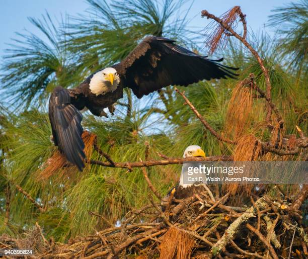 Male bald eagle (Haliaeetus leucocephalus) launching from perch and female in nest, Holiday, Florida, USA