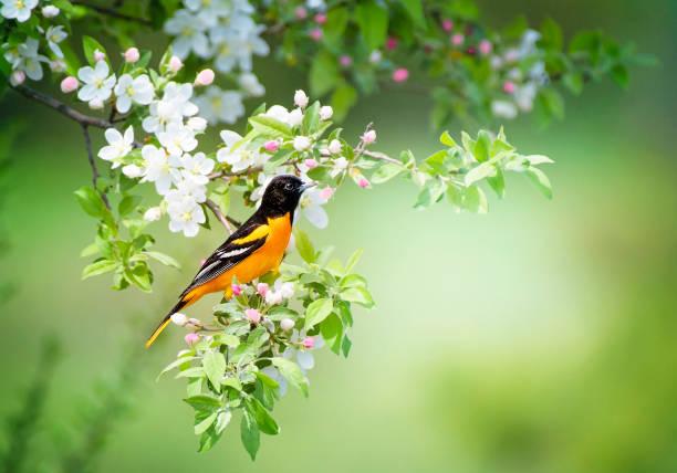 Male Baltimore Oriole Flowering Bush - Fine Art prints