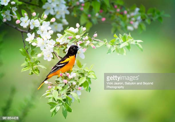 male baltimore oriole in flowering bush and green background - songbird stock pictures, royalty-free photos & images