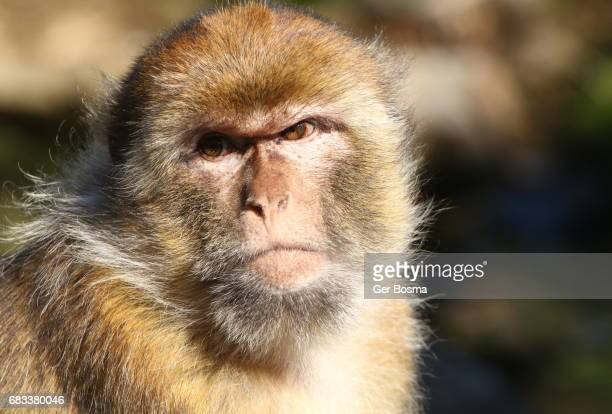 male  barbary macaque (macaca sylvanus) - monkeys stock photos and pictures