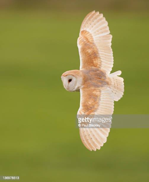 male barn owl - barn owl stock photos and pictures