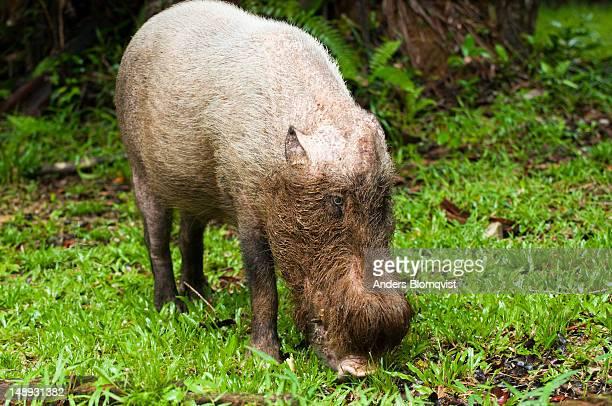 Male bearded pig (Sus barbatus) foraging.