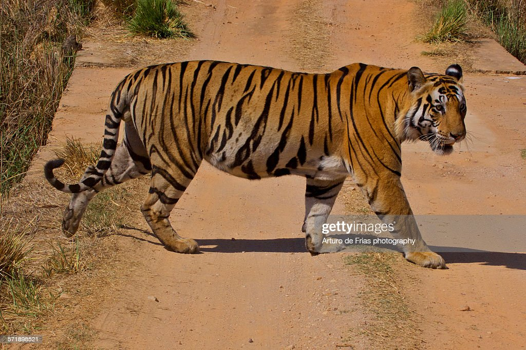 male bengal tiger crossing the road in kanha stock photo