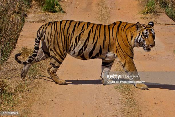 male bengal tiger crossing the road, in kanha - bengal tiger stock pictures, royalty-free photos & images