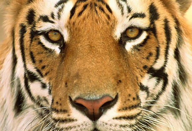 Male Bengal tiger's face (Panthera tigris tigris), full frame