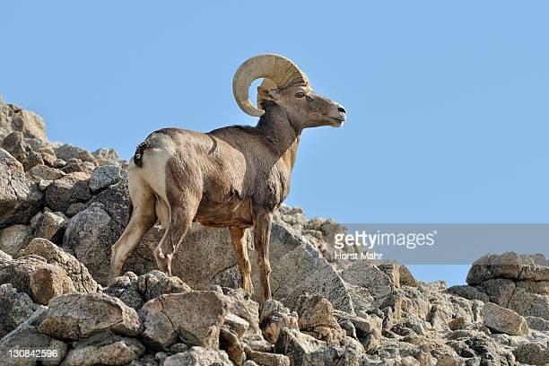 Male Bighorn sheep (Ovis canadensis), Borrego Palm Canyon, Anza Borrega Desert State Park, Borrego Springs, Southern California, USA