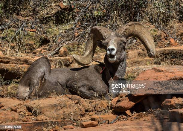 Male bighorn sheep, fitted with a radio collar, sits along the Mount Carmel Highway on November 6, 2019 in Zion National Park, Utah. Zion National...