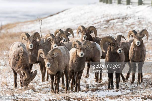 male bighorn sheep rams in alberta, canada. - canadian rockies stock pictures, royalty-free photos & images