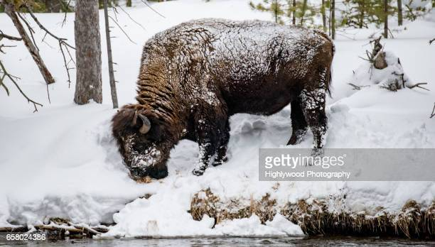 male bison grazing in snow - highlywood stock pictures, royalty-free photos & images
