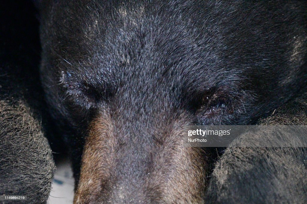 A male black bear was captured by game warden with the PA