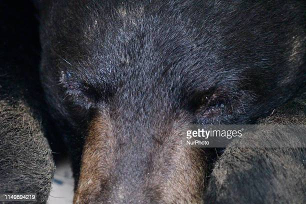 A male black bear was captured by game warden with the PA State Game Commissions after a fiveday Long chase in lowerMontgomery and the far northwest...