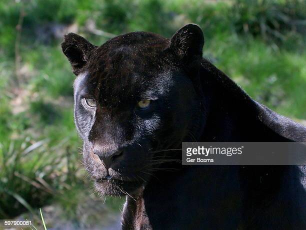Male Black Jaguar Portrait