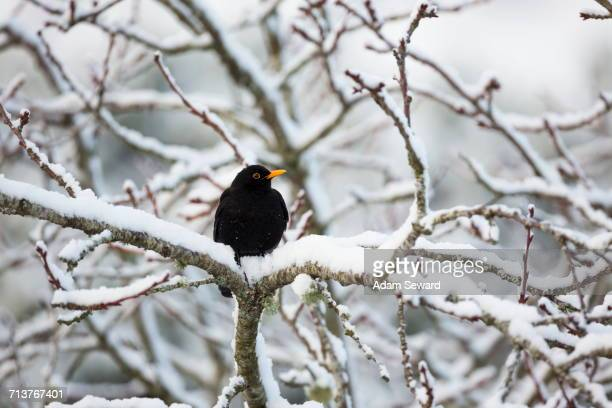 male blackbird (turdus merula) on snow-covered tree - merel stockfoto's en -beelden