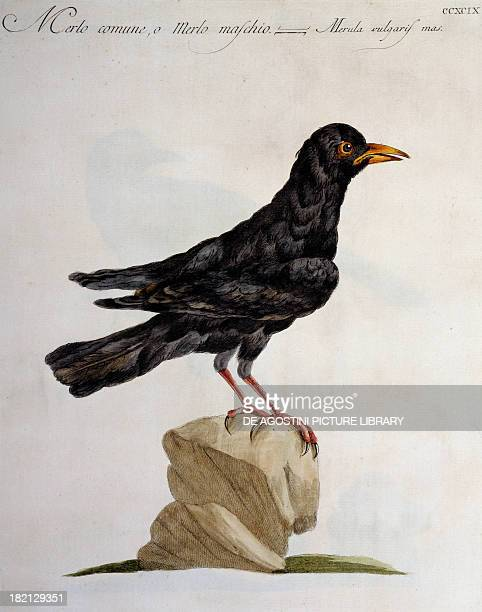 Male Blackbird or Common Blackbird colour etching by Lorenzo Lorenzi and Violante Vanni from Natural History of Birds by Saverio Manetti Florence...