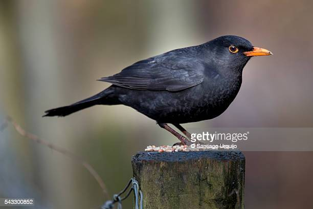 Male Blackbird (Turdus merula) perched on a pole