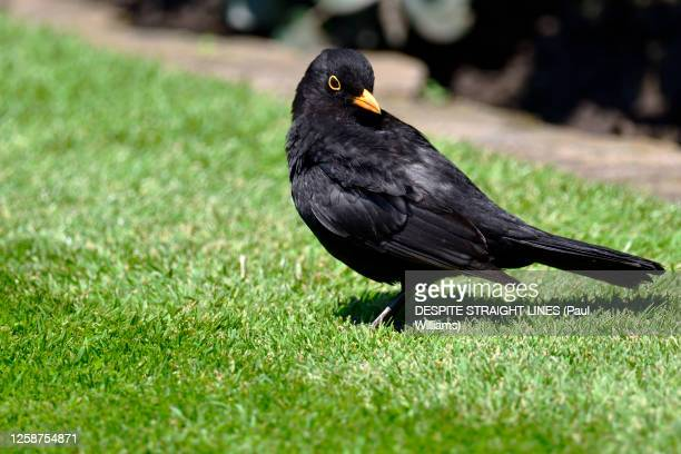 male blackbird (turdus merula) - lawn stock pictures, royalty-free photos & images