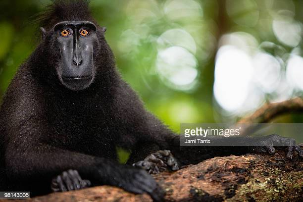 Male black-crested macaque with amber eyes