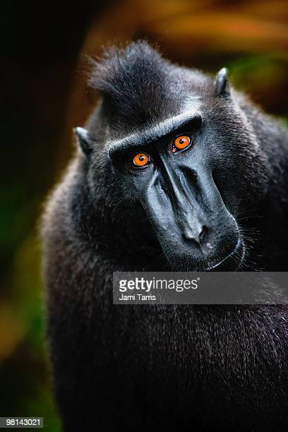 Male black-crested macaque with amber-colored eyes