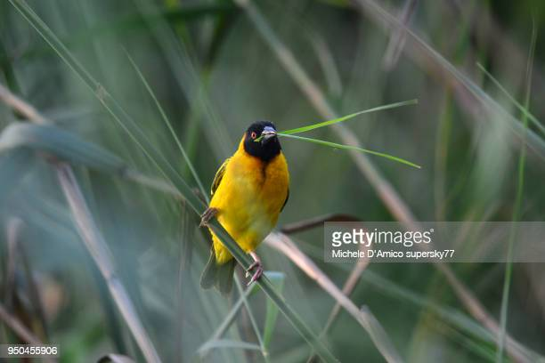 male black-headed weaver (ploceus melanocephalus), also known as yellow-backed weaver - michele weaver stock pictures, royalty-free photos & images