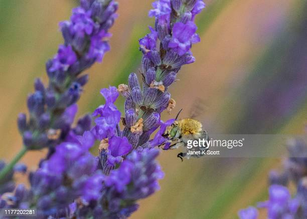 male blue banded bee - janet scott stock pictures, royalty-free photos & images