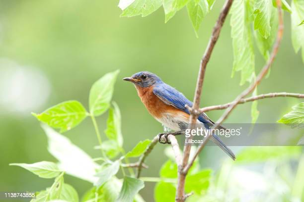 male bluebird sitting on a branch in nature - bird stock pictures, royalty-free photos & images