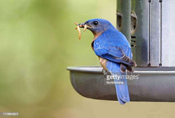 Male Bluebird With Meal Worms