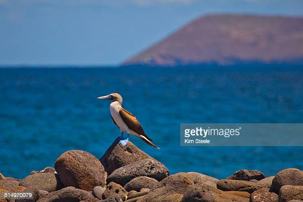 Male Blue-Footed Boobie Bird, North Seymour Island