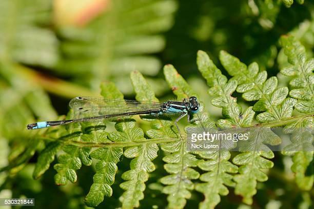 male blue-tailed damselfly (ischnura elegans) resting on a bracken frond, studland heath, dorset, england, united kingdom, europe - animal abdomen stock photos and pictures